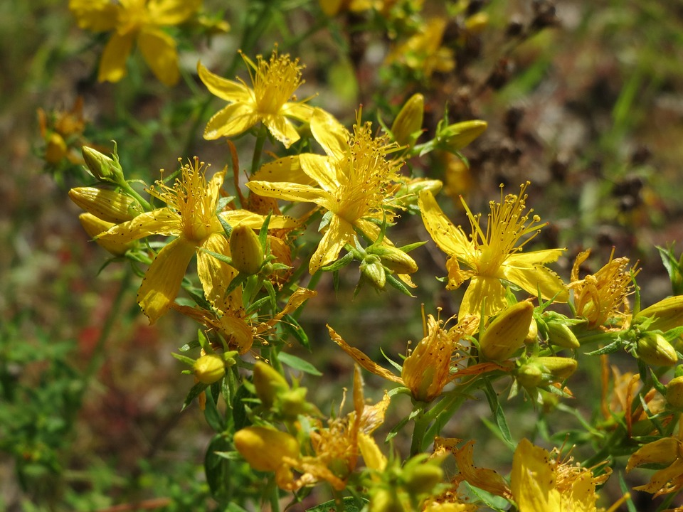 hypericum perforatum - A Guide to Medicinal Plants and Herbal Remedies
