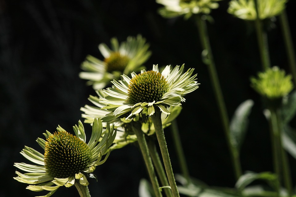 translucent sonnenhut echinacea - A Guide to Medicinal Plants and Herbal Remedies